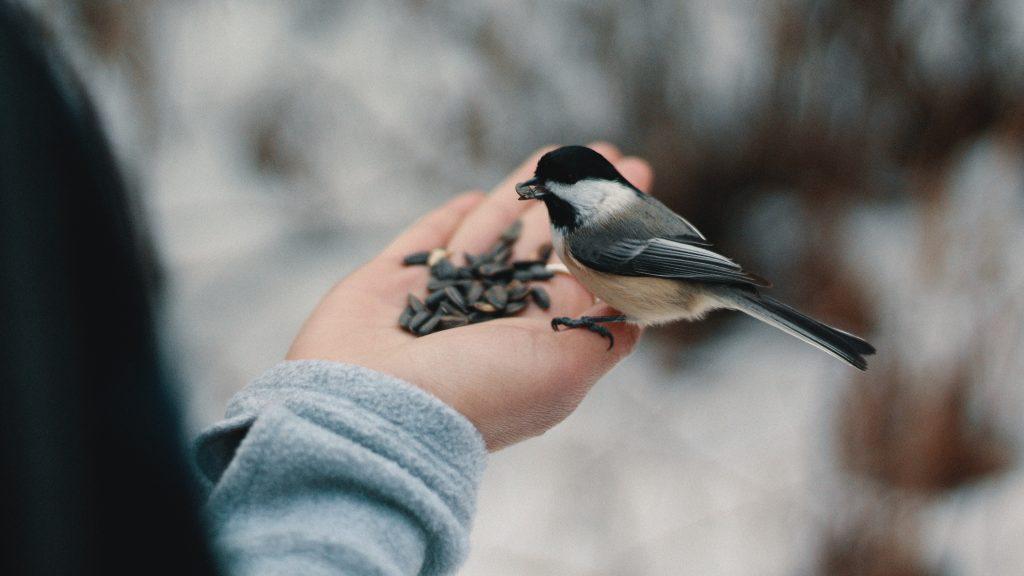 Oiseau mange des graines de tournesol dans la main de quelqu'un en plein hiver